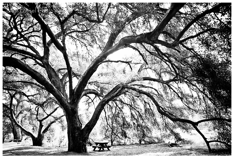 malibu creek state park california giant tree black and white liesldieselphoto